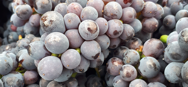 grapebanner